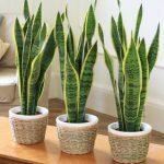6 loại cây phong thủy nên trồng trong nhà để hút tài lộc và may mắn