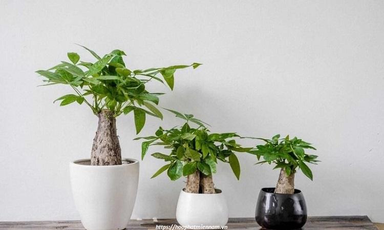 Mệnh Mộc nên chọn các loại cây như Kim Ngân để bàn làm việc