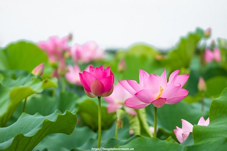 Hoa sen là Quốc Hoa Việt Nam thể hiện sự thanh tao, tinh thần Việt