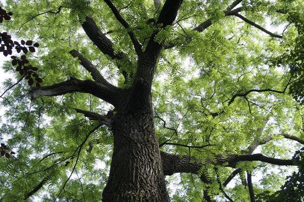 gỗ lim là gì